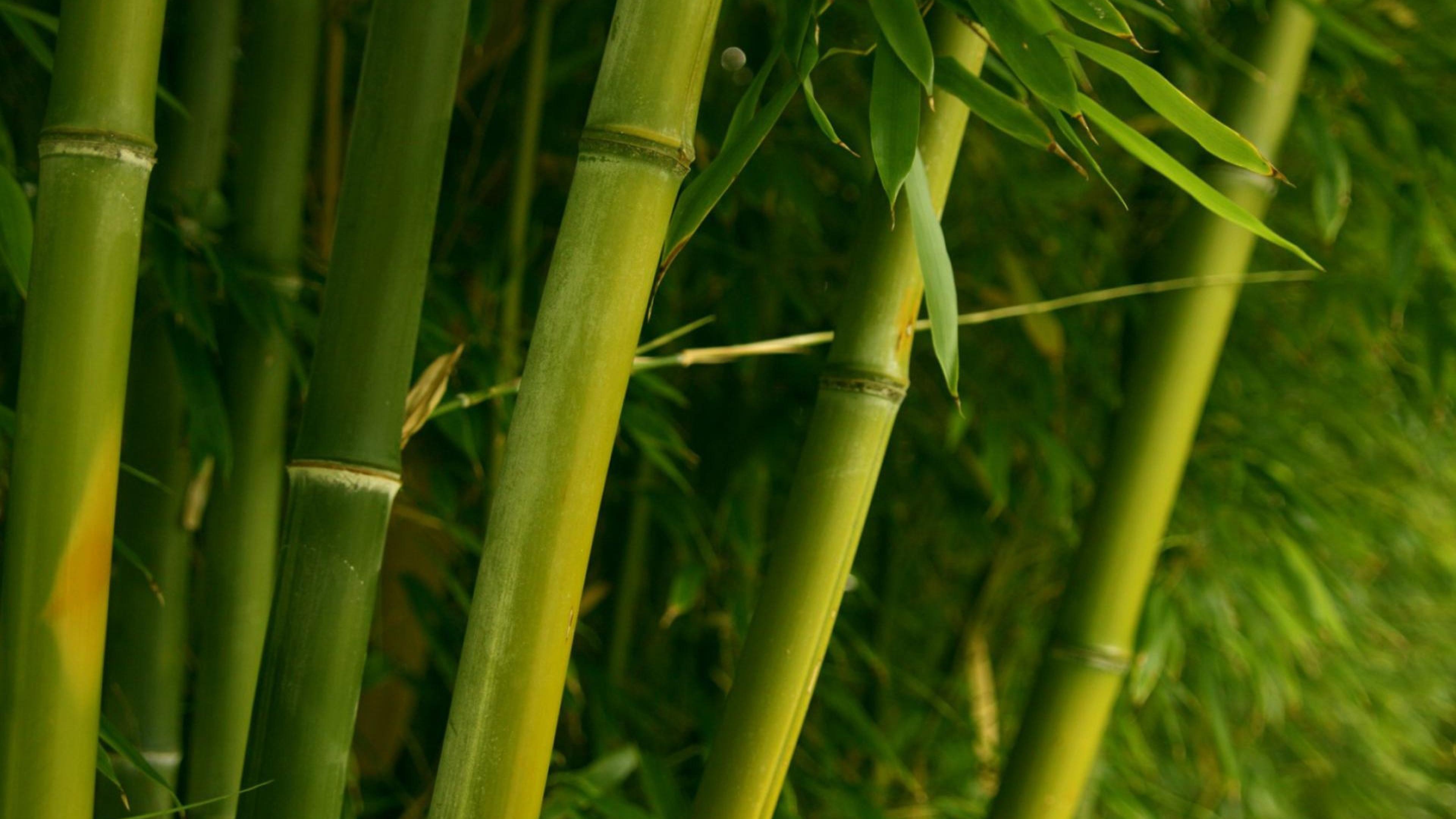 bamboo_green_stalks_leaves_7157_3840x2160